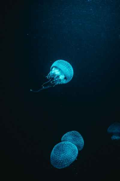 blue jellyfish in water